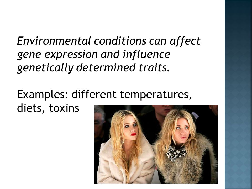 Environmental conditions can affect gene expression and influence genetically determined traits.