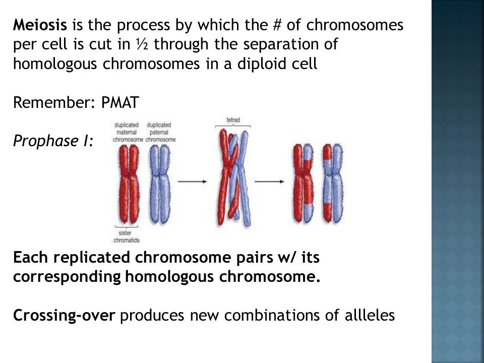 Meiosis is the process by which the # of chromosomes per cell is cut in ½ through the separation of homologous chromosomes in a diploid cell