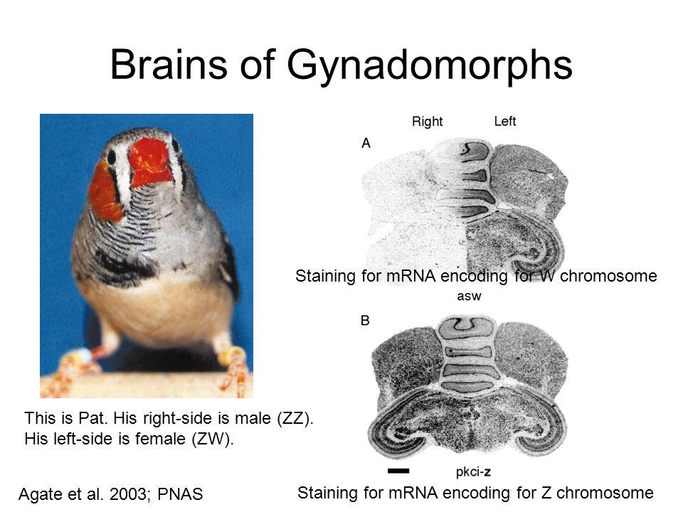 Brains of Gynadomorphs
