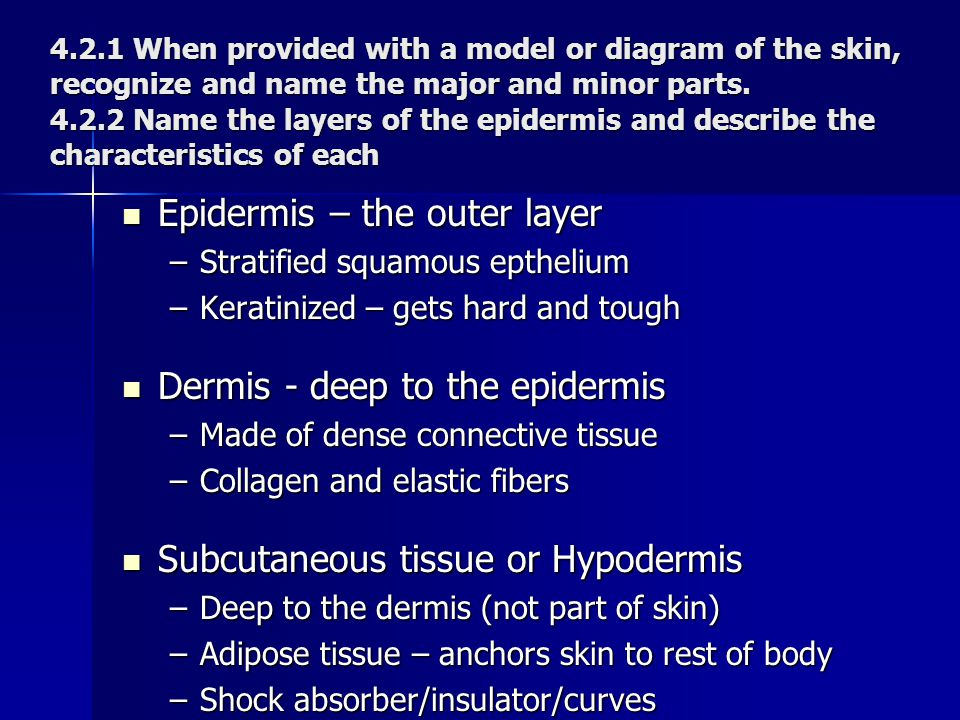 Epidermis – the outer layer
