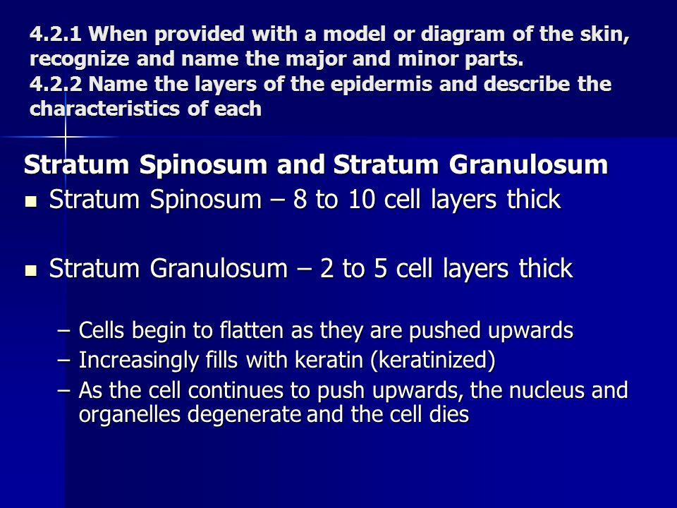 Stratum Spinosum and Stratum Granulosum