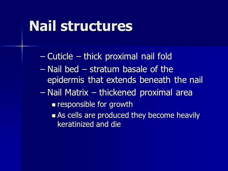 Nail structures Cuticle – thick proximal nail fold