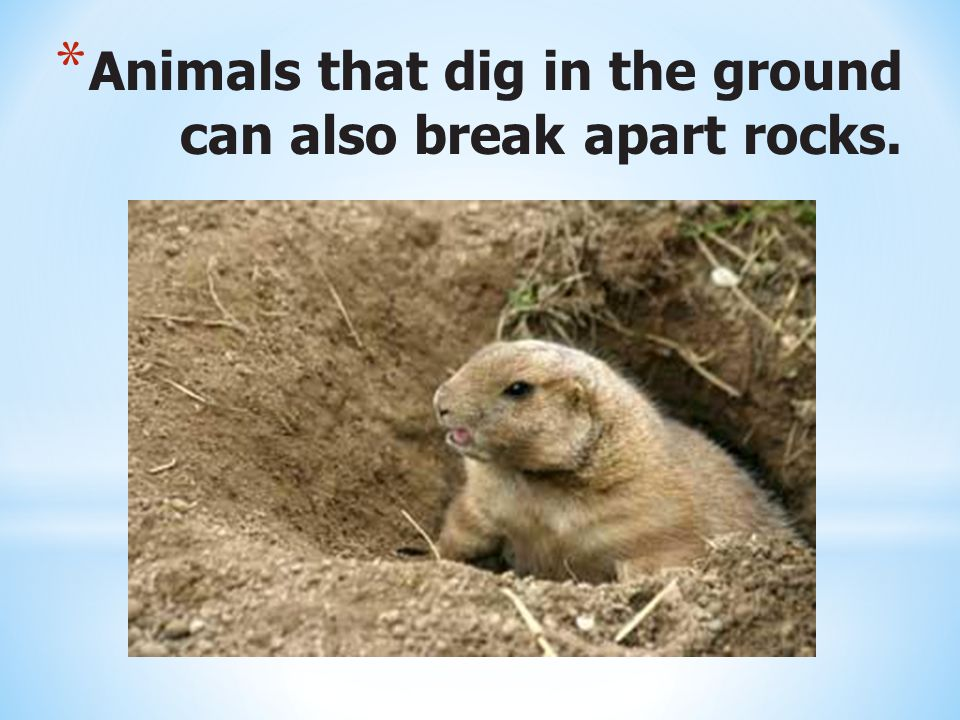 Animals that dig in the ground can also break apart rocks.