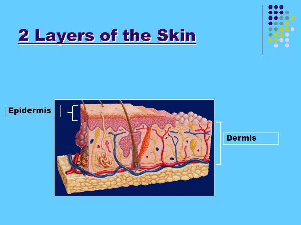 2 Layers of the Skin Epidermis Dermis