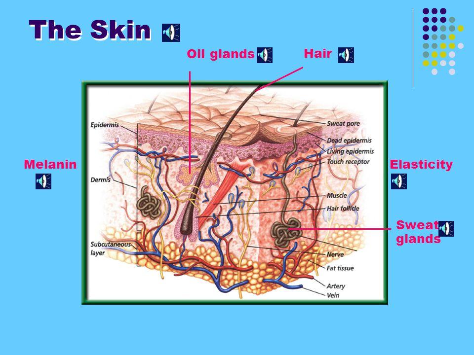 The Skin Oil glands Hair Melanin Elasticity Sweat glands