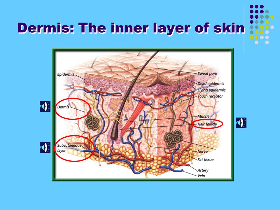 Dermis: The inner layer of skin