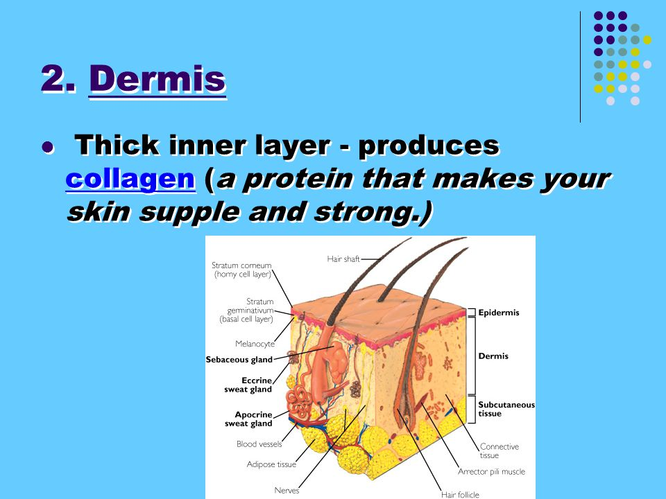 2. Dermis Thick inner layer - produces collagen (a protein that makes your skin supple and strong.)