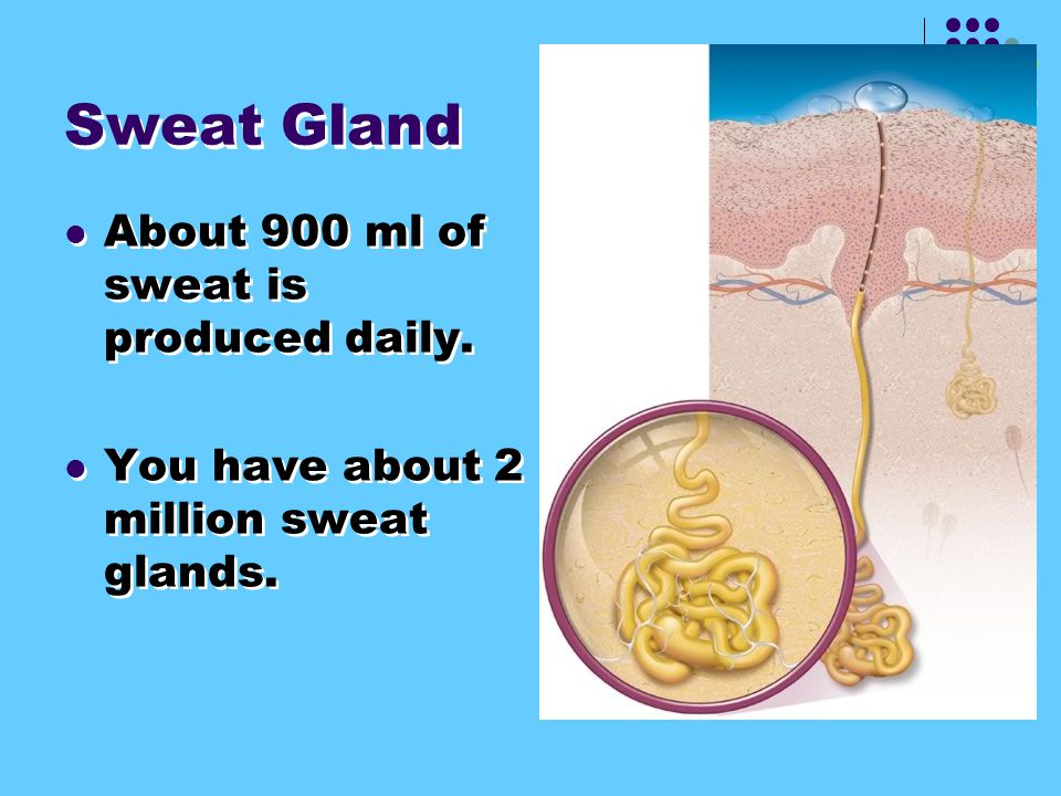 Sweat Gland About 900 ml of sweat is produced daily.