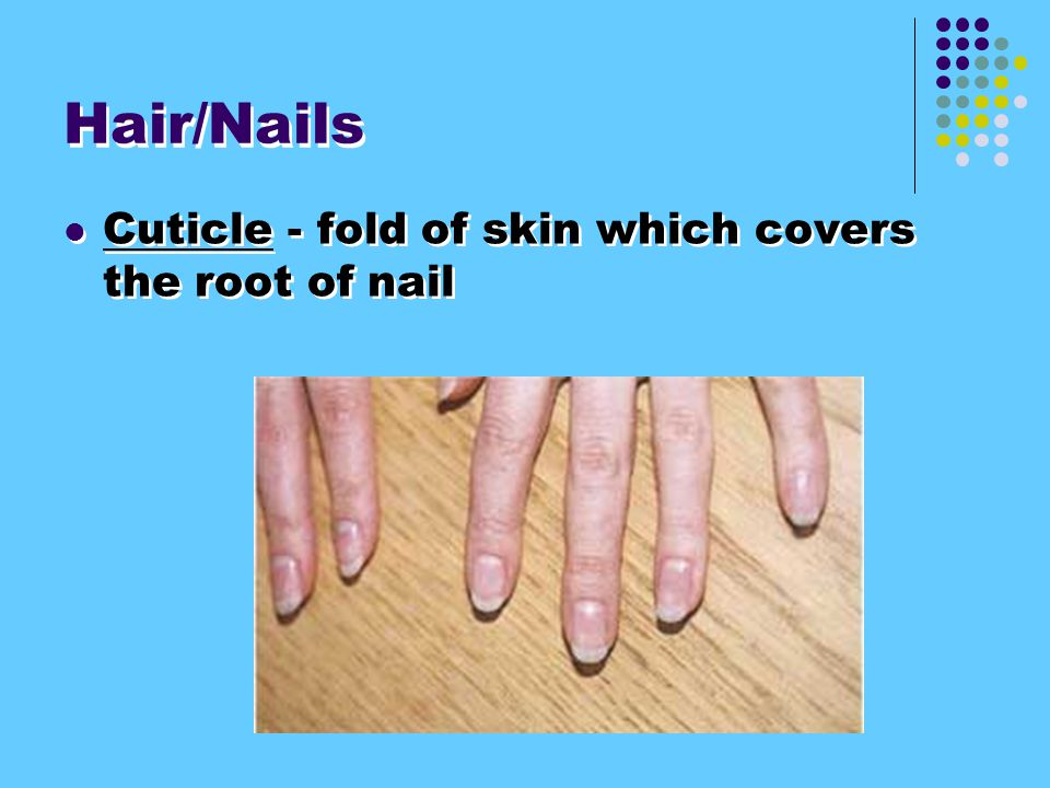 Hair/Nails Cuticle - fold of skin which covers the root of nail