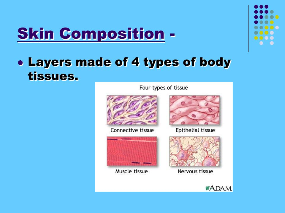 Skin Composition - Layers made of 4 types of body tissues.