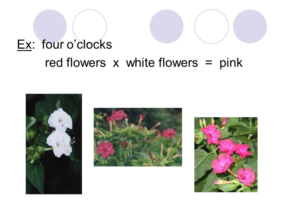Ex: four o'clocks red flowers x white flowers = pink