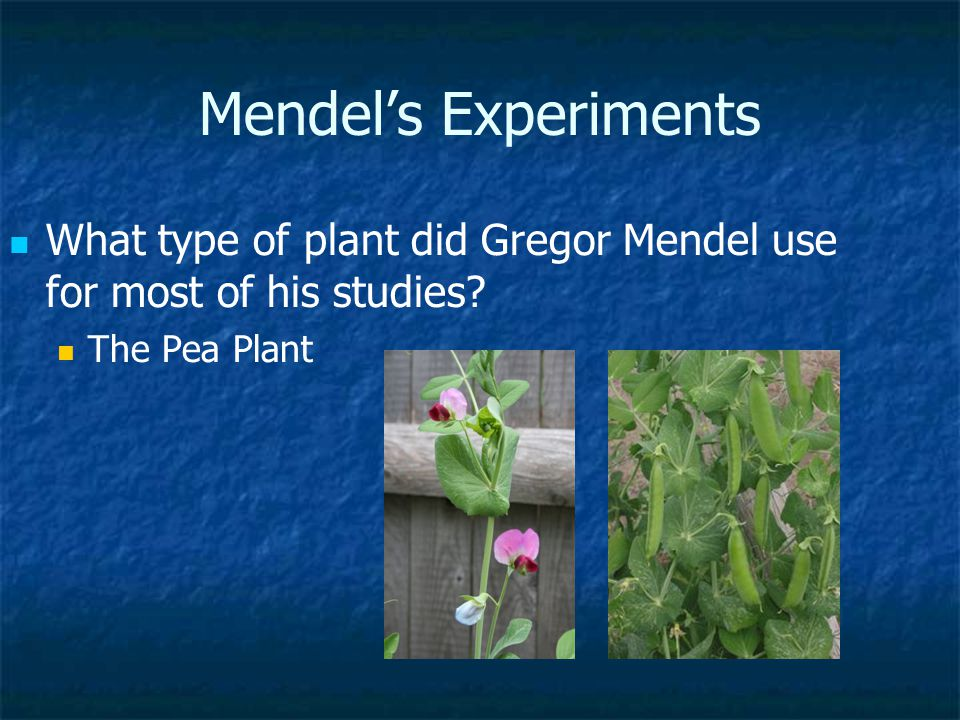 Mendel's Experiments What type of plant did Gregor Mendel use for most of his studies.