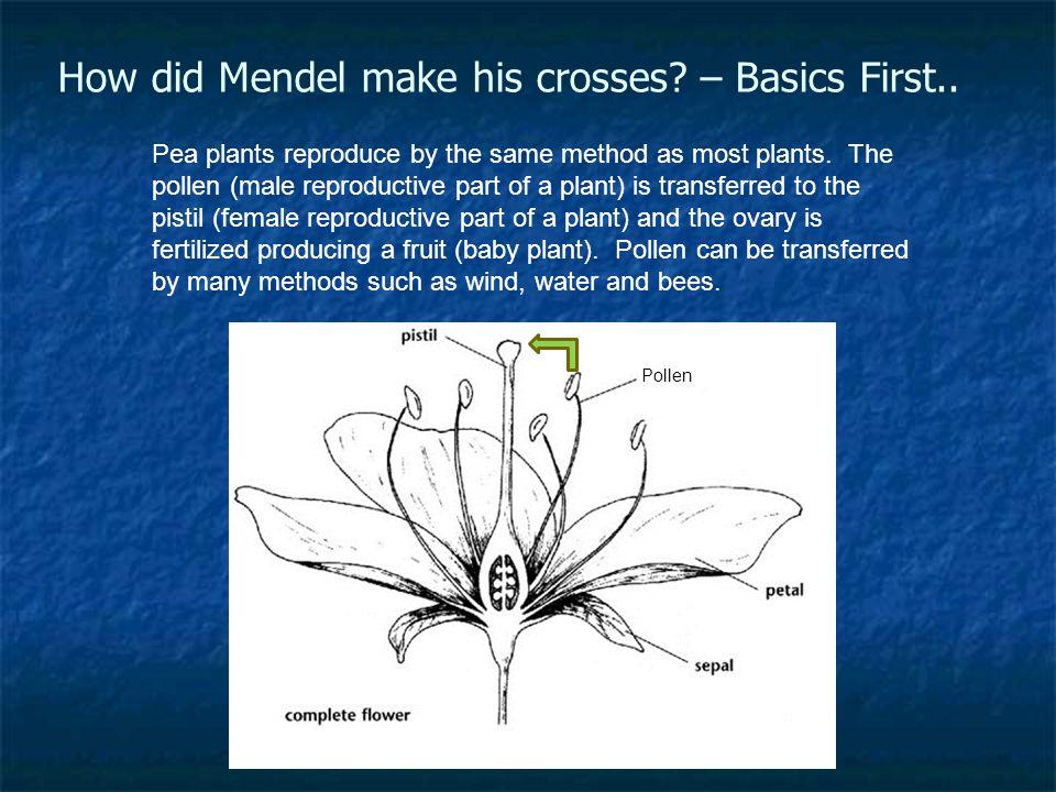 How did Mendel make his crosses – Basics First..