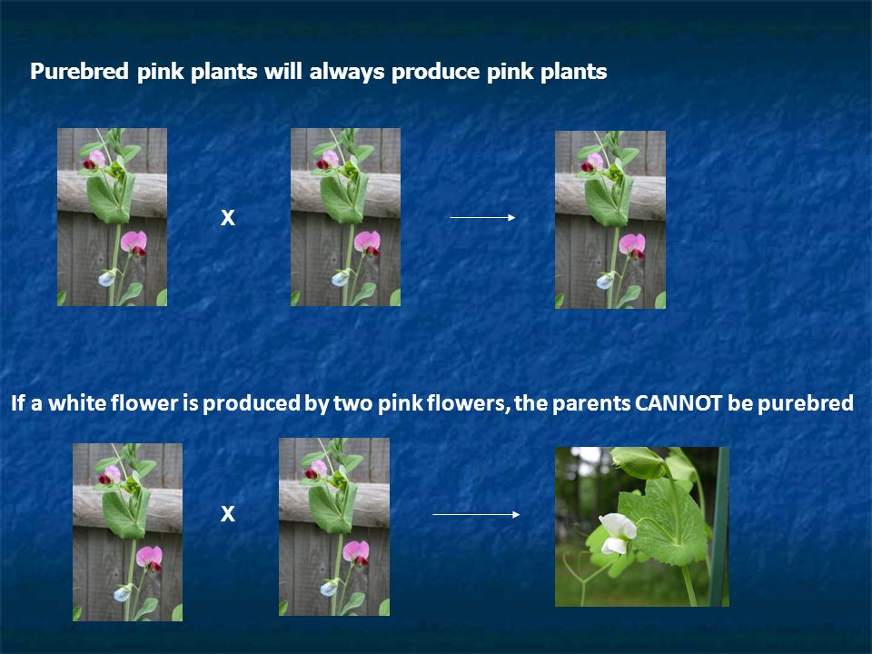 Purebred pink plants will always produce pink plants