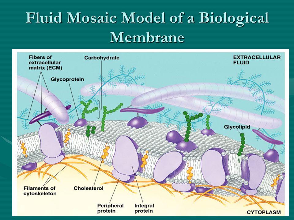 Fluid Mosaic Model of a Biological Membrane