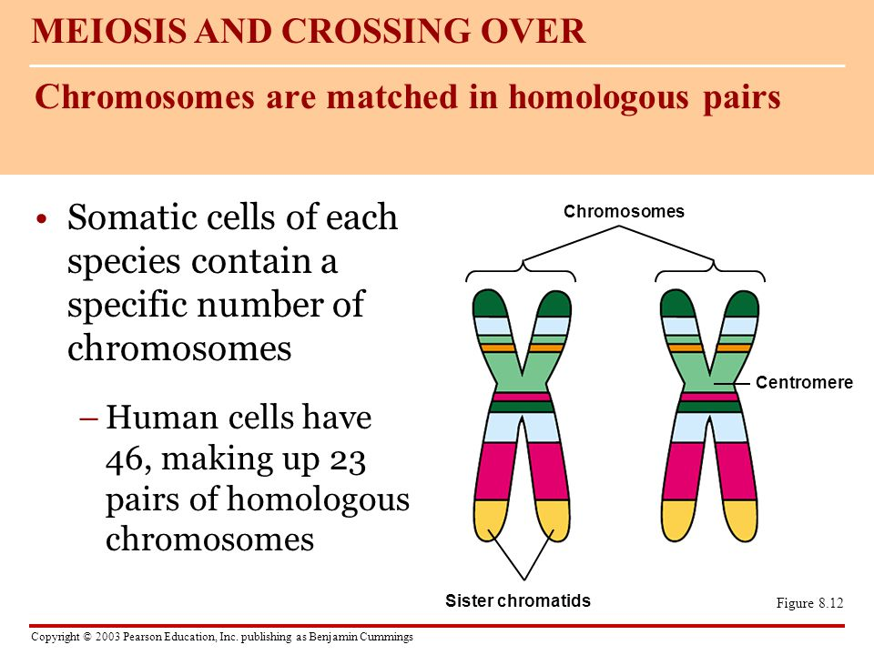 Chromosomes are matched in homologous pairs