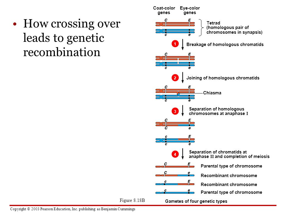 How crossing over leads to genetic recombination