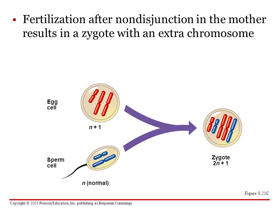Fertilization after nondisjunction in the mother results in a zygote with an extra chromosome