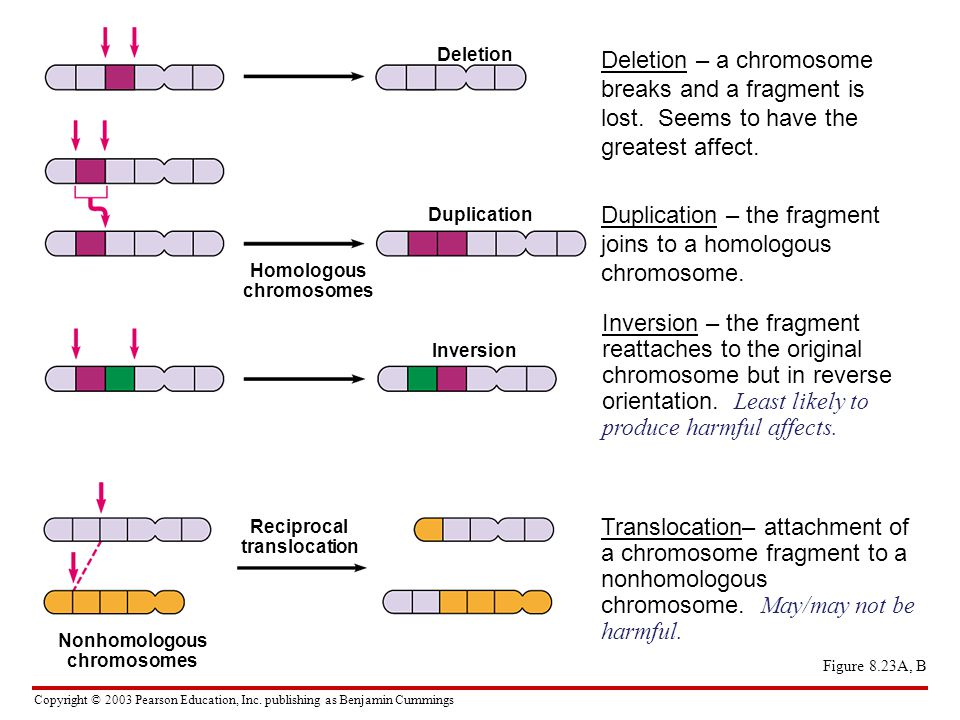 Duplication – the fragment joins to a homologous chromosome.