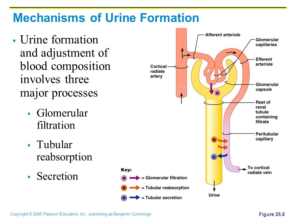 Mechanisms of Urine Formation