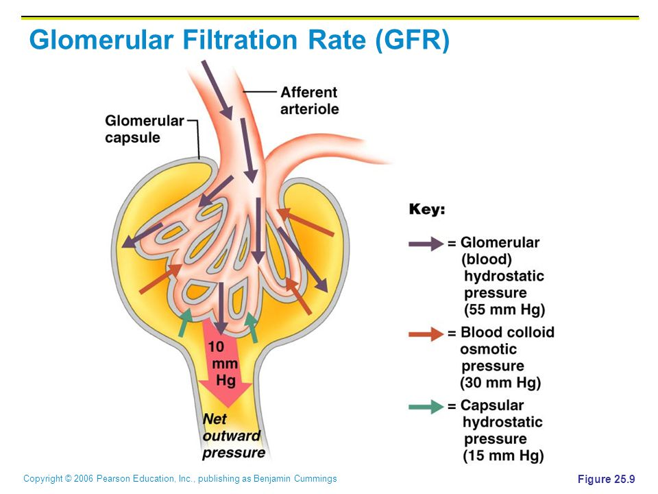 what happens to the glomerular filtration rate as the afferent radius is increased 09_117_128_phyex7_hp_ch09 glomerulus can affect the glomerular filtration rate 1 the afferent the afferent arteriole radius affect glomerular filtration.