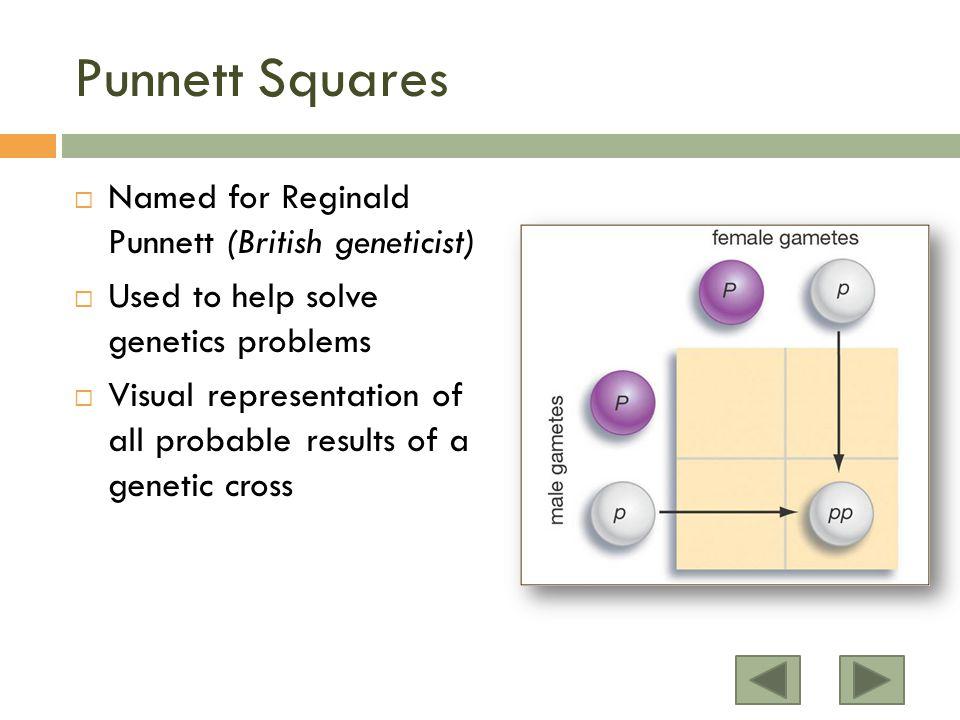 Punnett Squares Named for Reginald Punnett (British geneticist)