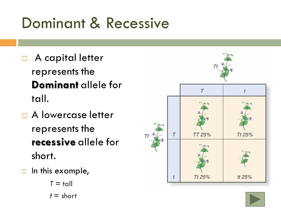 Dominant & Recessive A capital letter represents the Dominant allele for tall. A lowercase letter represents the recessive allele for short.
