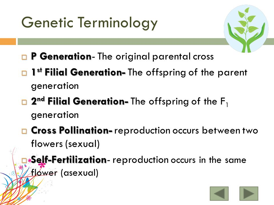Genetic Terminology P Generation- The original parental cross