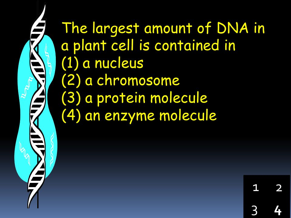 The largest amount of DNA in a plant cell is contained in