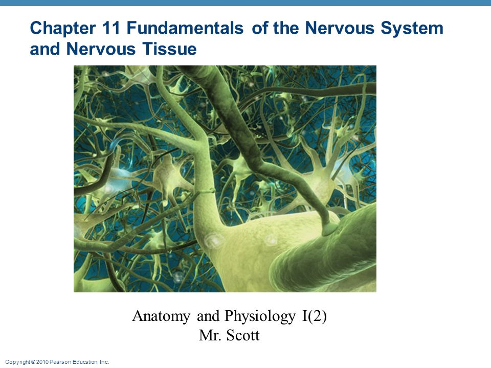 Chapter 11 Fundamentals of the Nervous System and Nervous Tissue