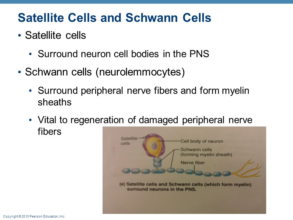 Satellite Cells and Schwann Cells