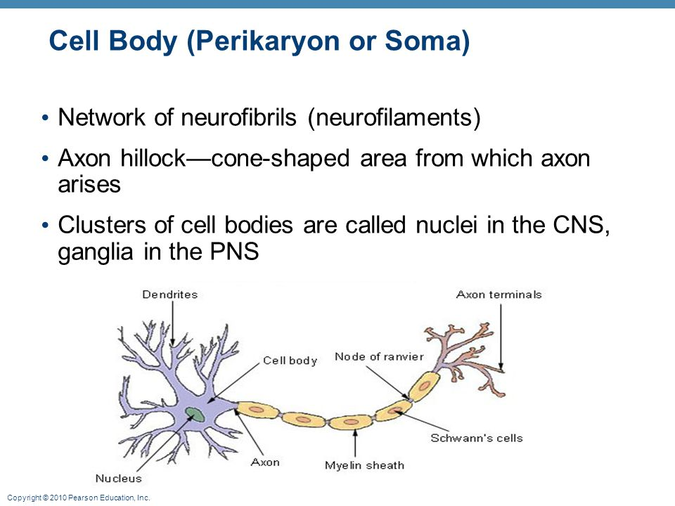 Cell Body (Perikaryon or Soma)