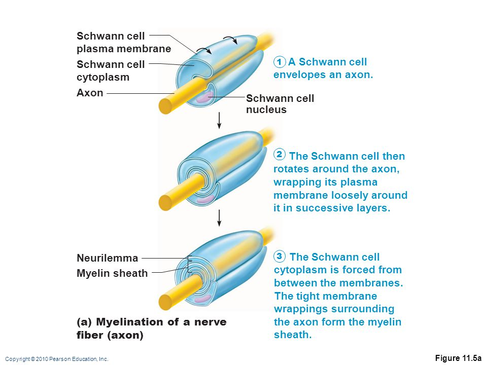 rotates around the axon, wrapping its plasma membrane loosely around