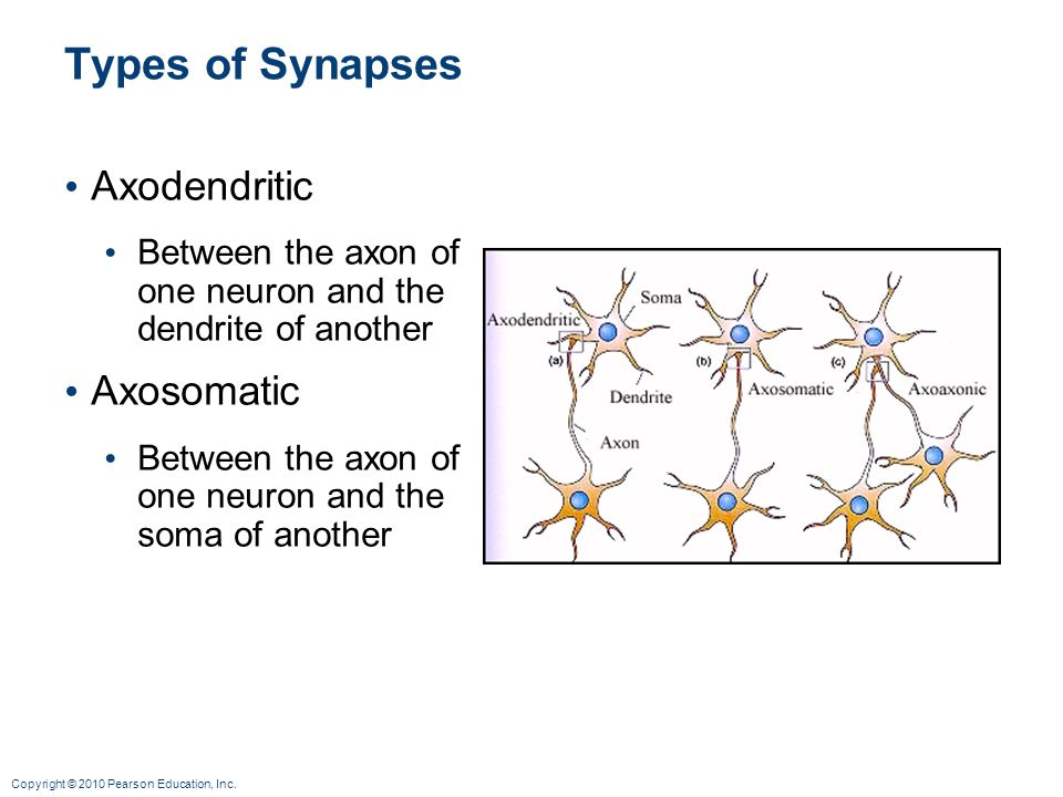 Types of Synapses Axodendritic Axosomatic