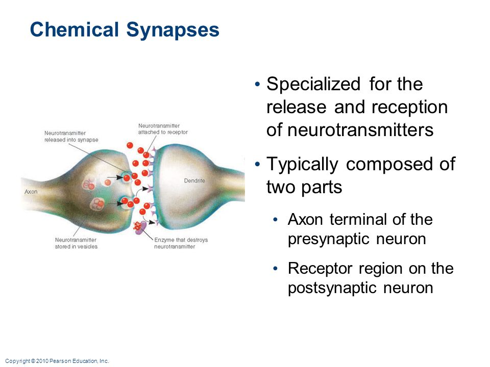 Chemical Synapses Specialized for the release and reception of neurotransmitters. Typically composed of two parts.