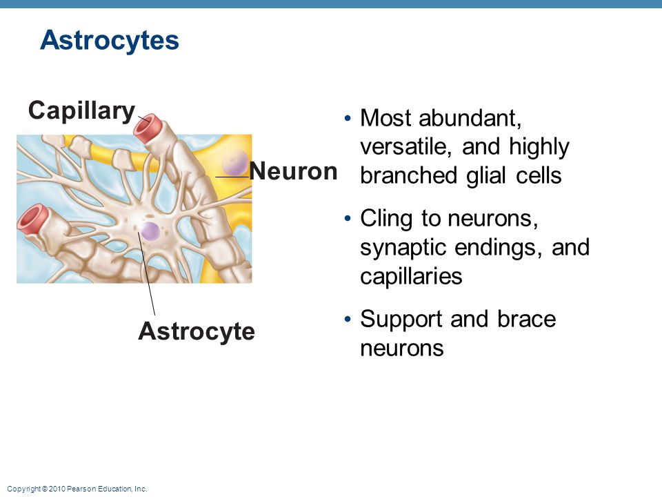 Astrocytes Capillary Neuron Astrocyte