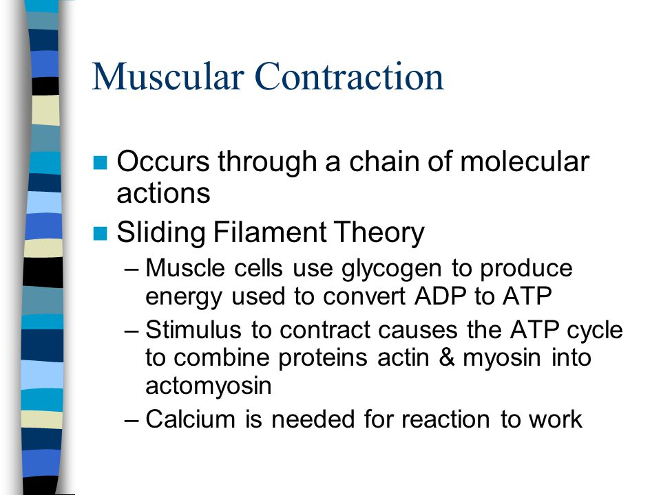 Muscular Contraction Occurs through a chain of molecular actions