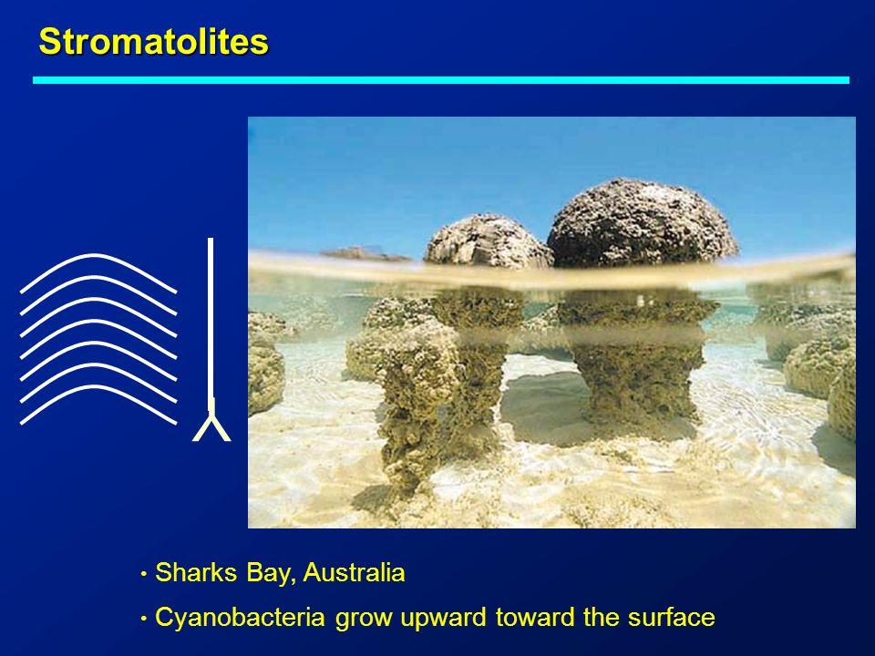 Y Stromatolites Sharks Bay, Australia