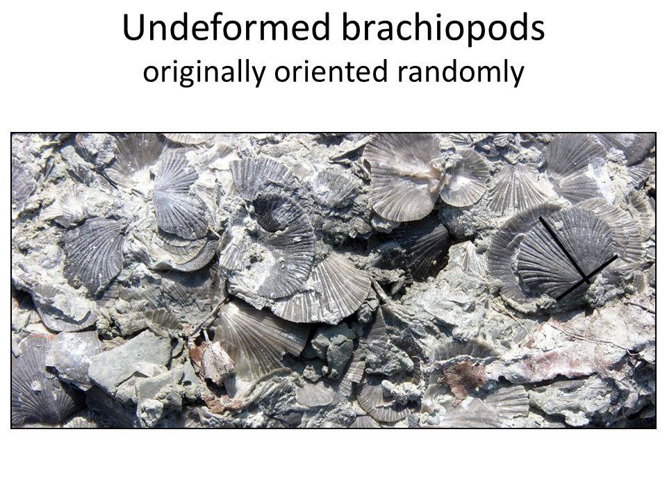 Undeformed brachiopods originally oriented randomly