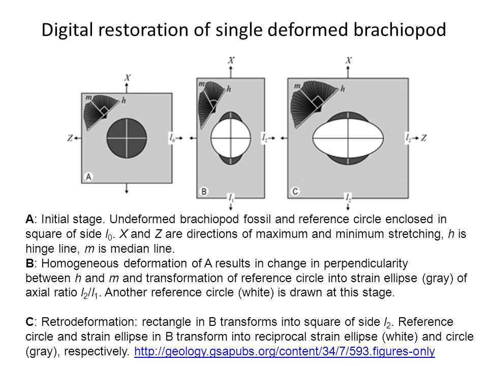Digital restoration of single deformed brachiopod