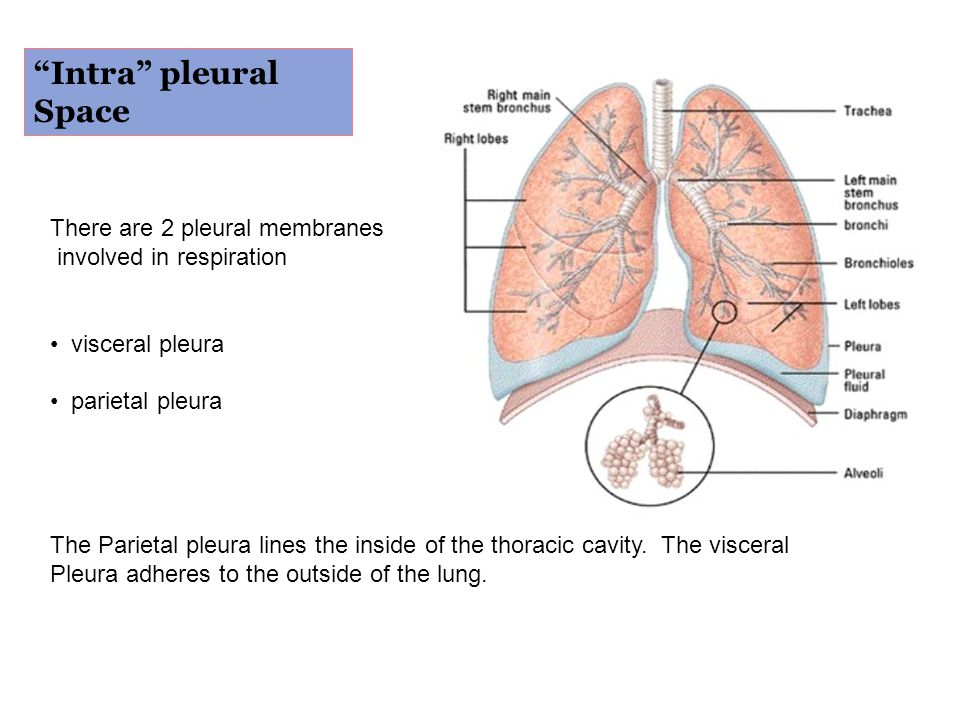 Intra pleural Space There are 2 pleural membranes