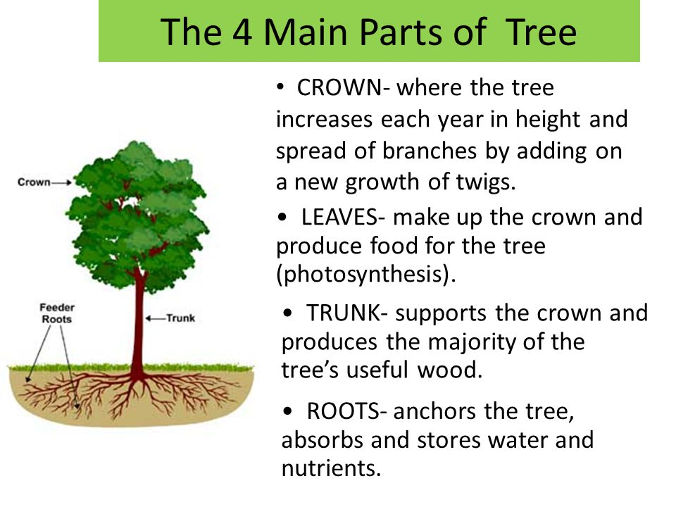 The 4 Main Parts of Tree CROWN- where the tree increases each year in height and spread of branches by adding on a new growth of twigs.