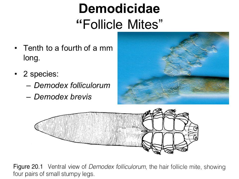 Demodicidae Follicle Mites