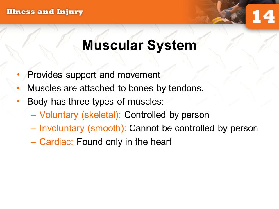 Muscular System Provides support and movement