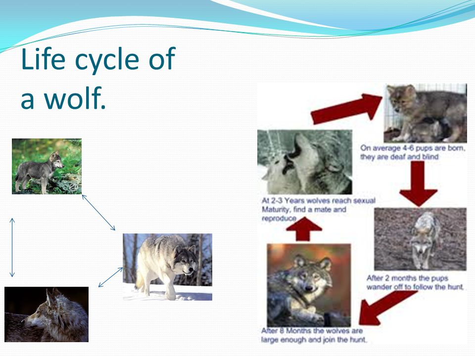 Life cycle of a wolf.