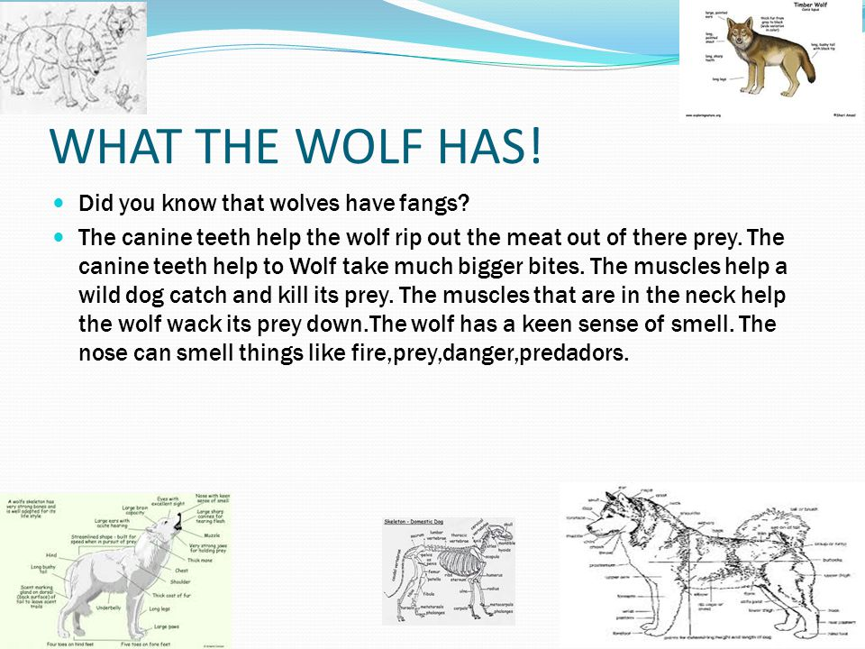 ! WHAT THE WOLF HAS! Did you know that wolves have fangs
