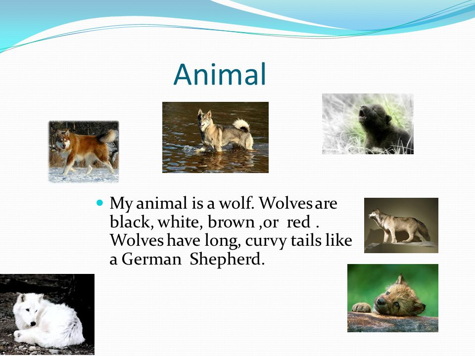 Animal My animal is a wolf. Wolves are black, white, brown ,or red .