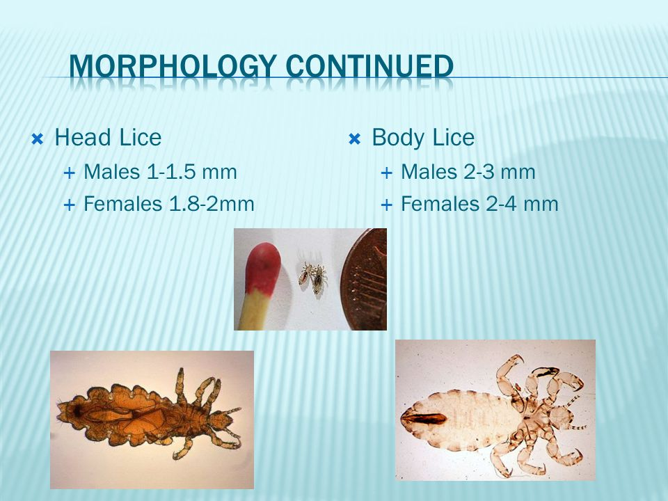 Morphology continued Head Lice Body Lice Males 1-1.5 mm