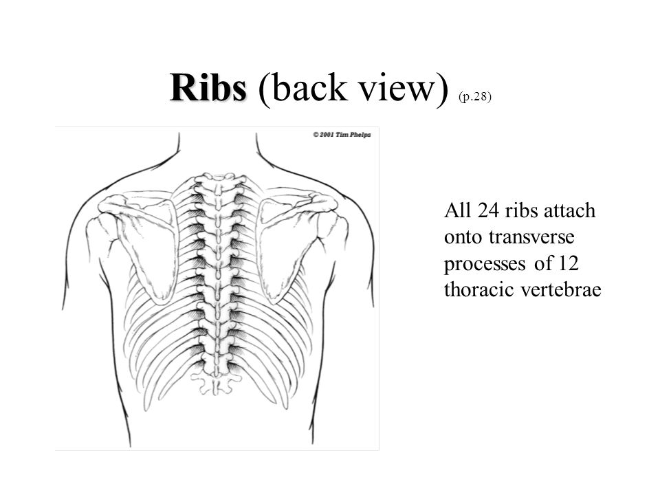 Ribs (back view) (p.28) All 24 ribs attach onto transverse processes of 12 thoracic vertebrae