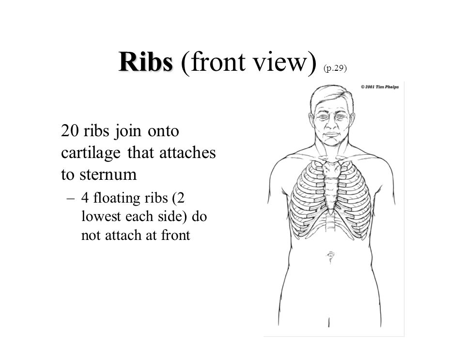 Ribs (front view) (p.29) 20 ribs join onto cartilage that attaches to sternum.